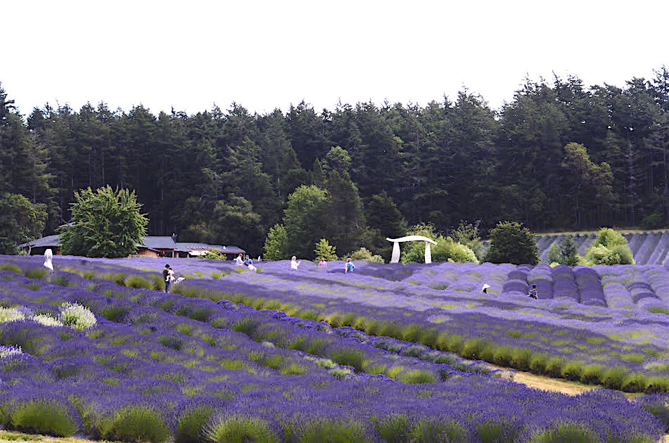 Pelindaba Lavender Fields in Full Bloom