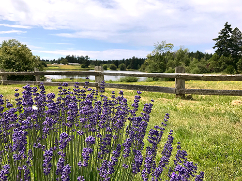 The Pelindaba Lavender Farm on San Juan Island, where all our body care products are made