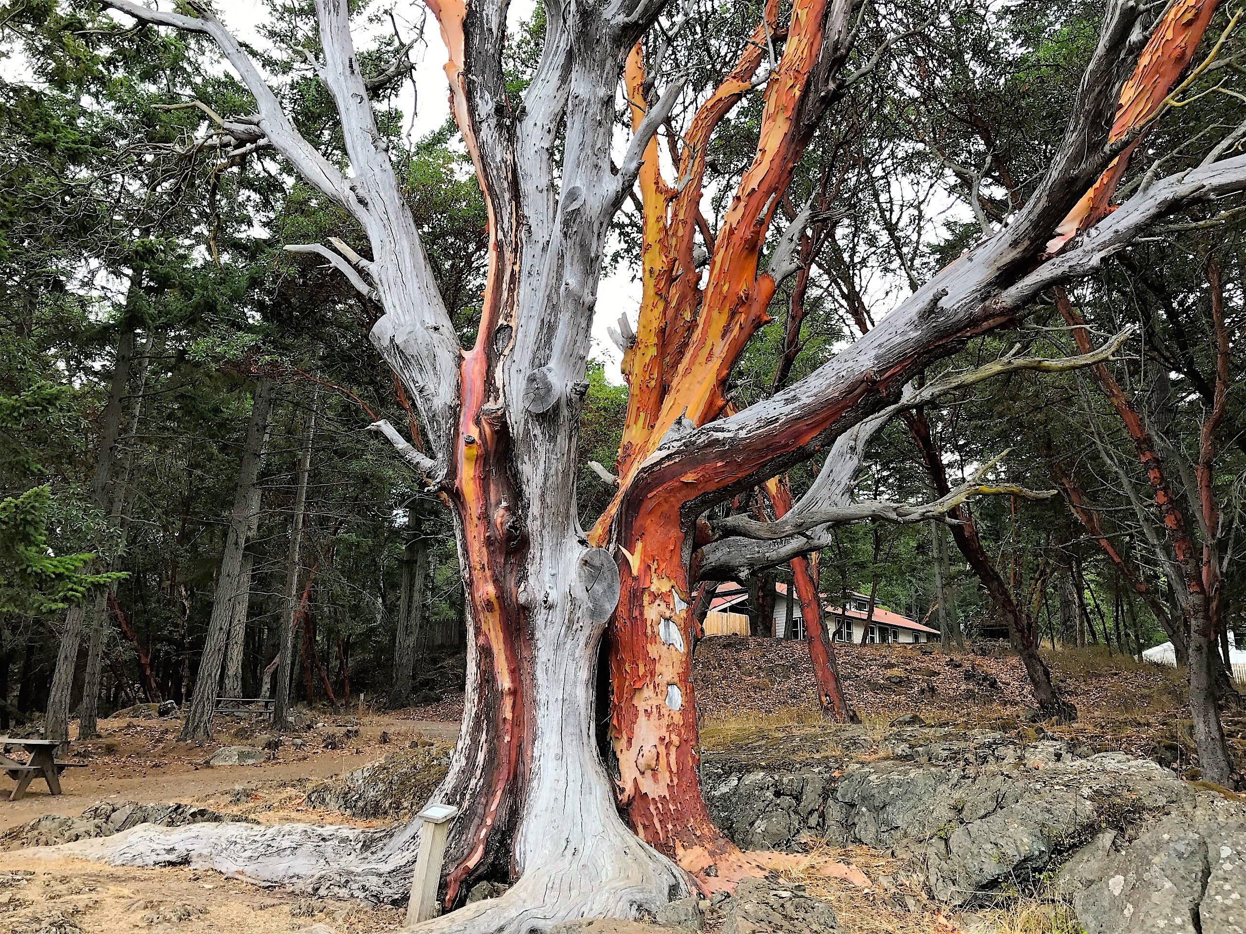 Madrona Tree on San Juan Island